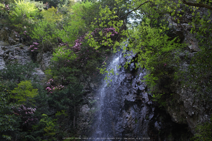 御船の滝,石楠花(SDIM0402,35mm,F1.8)2014yaotomi_.jpg