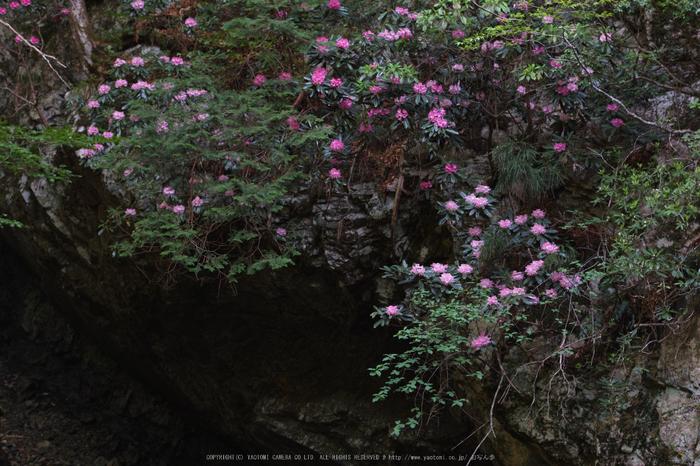 御船の滝,石楠花(SDIM0411,80mm,F3.5)2014yaotomi_.jpg
