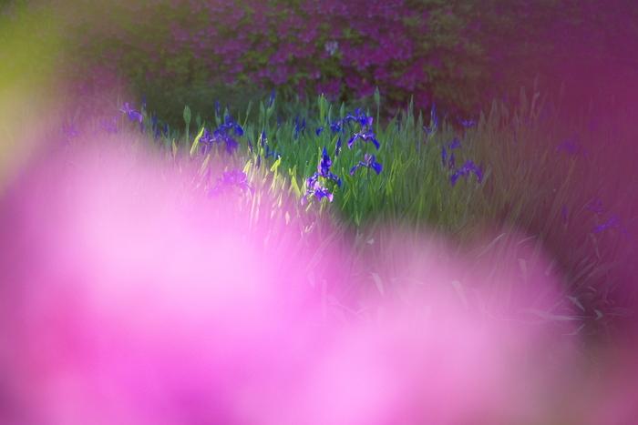 長岳寺,つつじ(P1120511,100mm,F2,8)2014yaotomi_.jpg