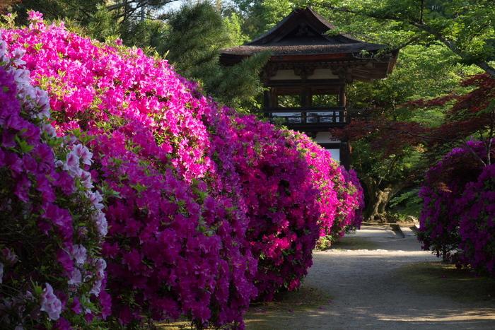 長岳寺,つつじ(P1120539,35mm,F5,6)2014yaotomi_.jpg