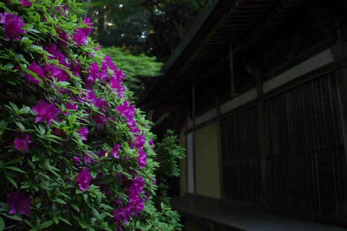 長岳寺,つつじ(P1120596,15mm,F1,7)2014yaotomi_.jpg