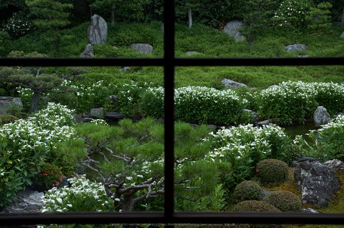 両足院,半夏生(PK3_9274,35mm,F3.5)2014yaotomi_.jpg