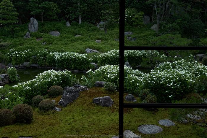 両足院,半夏生(PK3_9292,28mm,F3.2)2014yaotomi_.jpg