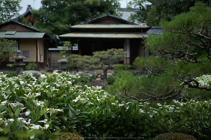 両足院,半夏生(PK3_9363,35mm,F1.8)2014yaotomi_.jpg