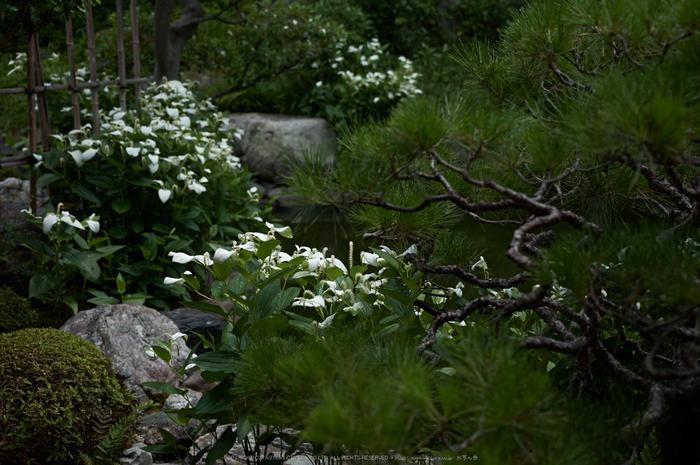 両足院,半夏生(PK3_9368,35mm,F2.2)2014yaotomi_.jpg