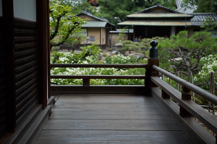 両足院,半夏生(PK3_9376,35mm,F1.8)2014yaotomi_.jpg