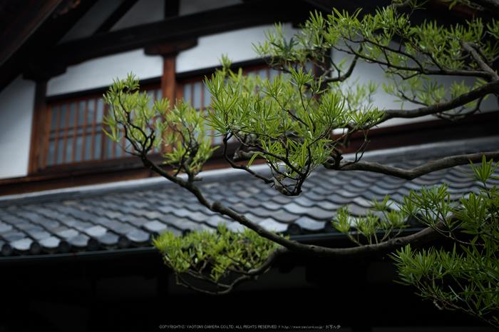 両足院,半夏生(PK3_9385,35mm,F1.8)2014yaotomi_.jpg