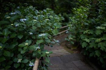 久米寺,紫陽花(5J7C1111,F1.6)2014yaotomi_.jpg