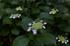 久米寺,紫陽花(5J7C1120,F4,FULL)2014yaotomi_.jpg