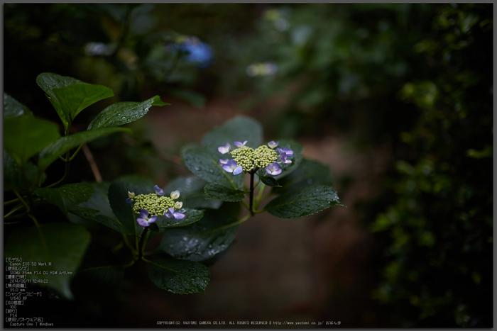 久米寺,紫陽花(5J7C1133,F1.4)2014yaotomi_Top.jpg