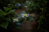 久米寺,紫陽花(5J7C1133,F1.4,FULL)2014yaotomi_.jpg