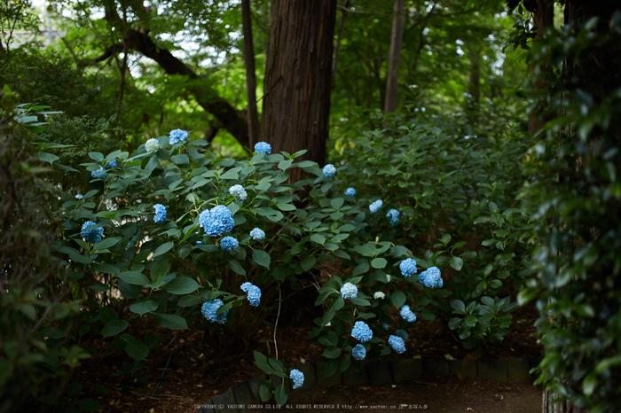久米寺,紫陽花(5J7C1149,35mm,F1.6)2014yaotomi_.jpg