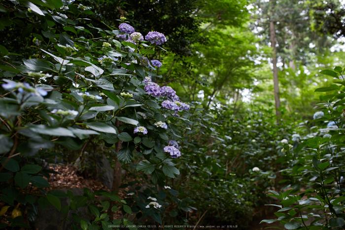 久米寺,紫陽花(5J7C1184,35mm,F2.8)2014yaotomi_.jpg