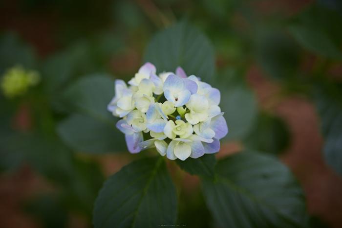久米寺,紫陽花(5J7C1198,35mm,F1.8)2014yaotomi_.jpg