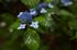 久米寺,紫陽花(5J7C1209,F2.8,FULL)2014yaotomi_.jpg