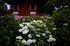 久米寺,紫陽花(5J7C1267,F1.4,FULL)2014yaotomi_.jpg