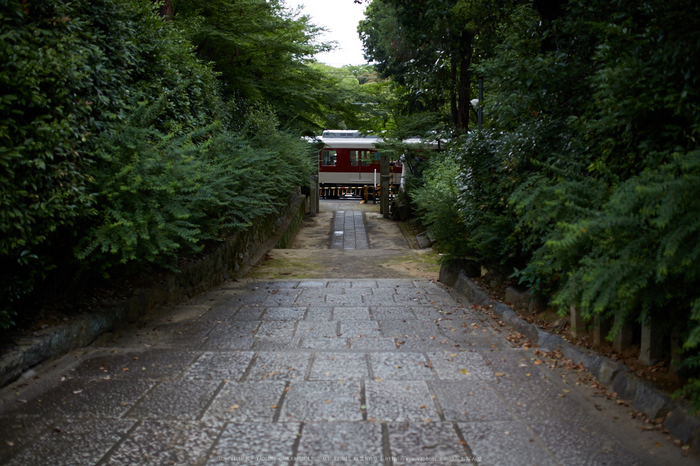 久米寺,紫陽花(5J7C1276,35mm,F1.6)2014yaotomi_.jpg