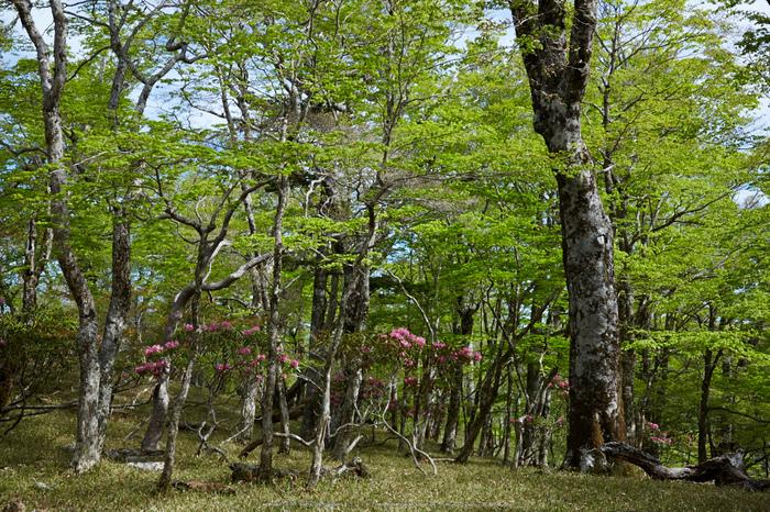 大台ケ原,新緑(5J7C9968,46mm,F8)2014yaotomi_.jpg