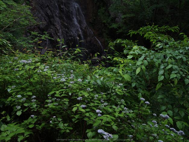 御船の滝,こあじさい(IMGP0216,35mm,F16)2014yaotomi_.jpg