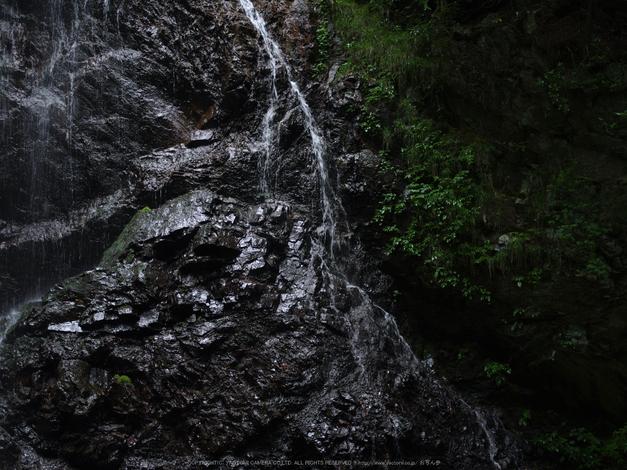 御船の滝,こあじさい(IMGP0246,55mm,F2.8)2014yaotomi_.jpg