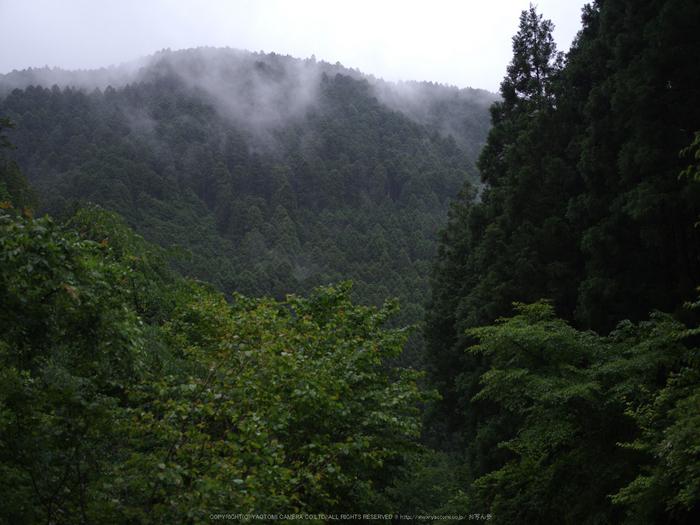 御船の滝,こあじさい(IMGP0257,55mm,F3.2)2014yaotomi_.jpg