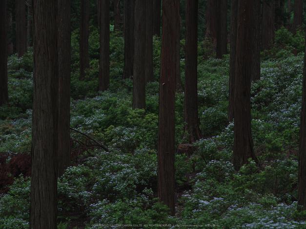 東吉野,こあじさい(IMGP0279,300mm,F13)2014yaotomi_.jpg