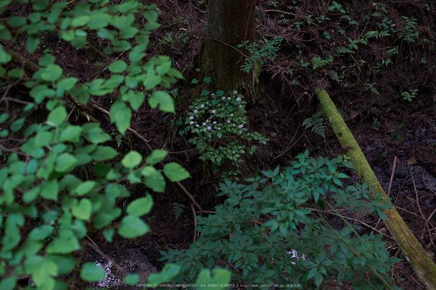 東吉野,6月(DSCF6254,35mm,F2.2)2014yaotomi_.jpg
