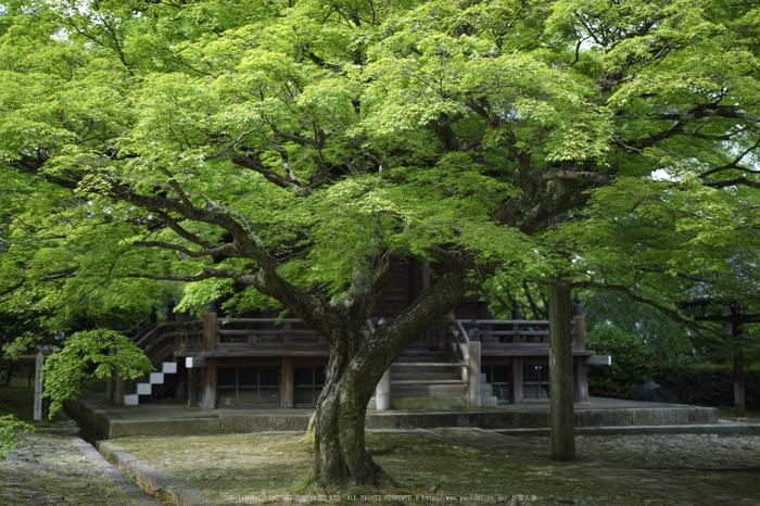 真如堂,新緑(SDIM0193,35mm,F1.8)2014yaotomi_.jpg
