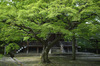 真如堂,新緑(SDIM0193,35mm,F1.8,FULL)2014yaotomi_.jpg