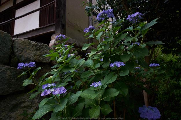 矢田寺,あじさい(DSCF6306,15.1mm,F6.4)2014yaotomi_.jpg