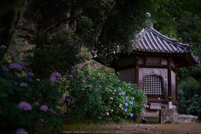 矢田寺,あじさい(DSCF6348,35mm,F1.6)2014yaotomi_.jpg