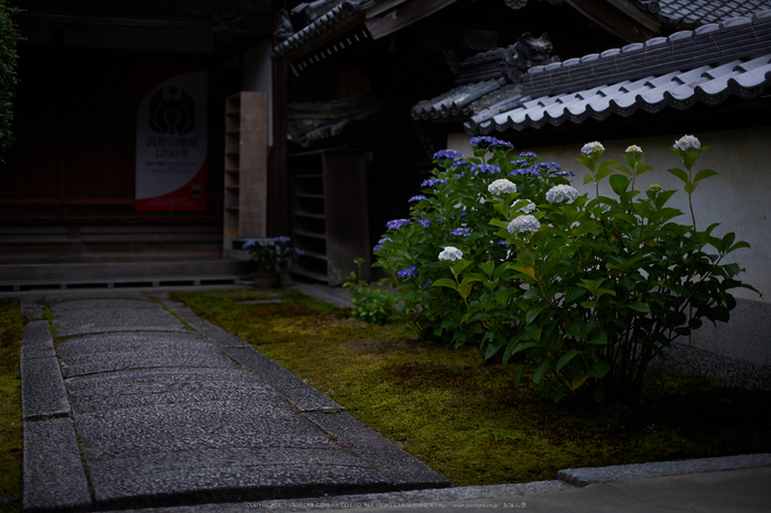 矢田寺,あじさい(DSCF6381,35mm,F1.4)2014yaotomi_.jpg