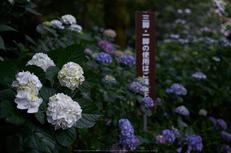矢田寺,あじさい(DSCF6392,35mm,F1.8)2014yaotomi_.jpg