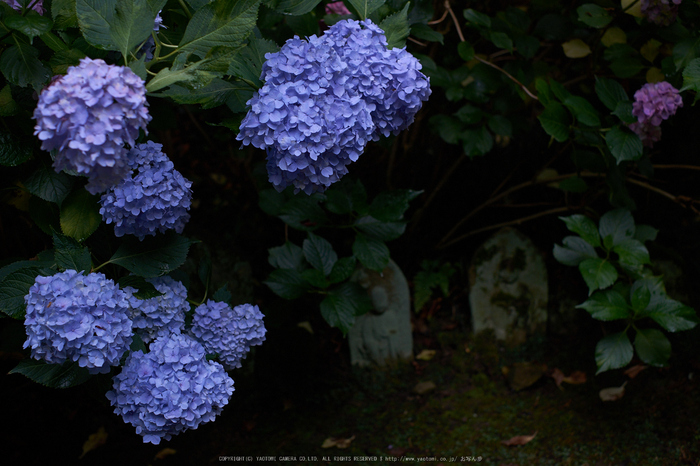 矢田寺,あじさい(DSCF6411,35mm,F2.8)2014yaotomi_.jpg