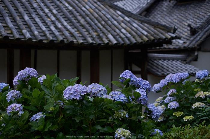 矢田寺,あじさい(DSCF6444,35mm,F2)2014yaotomi_.jpg