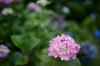 矢田寺,紫陽花(5J7C0660,F1.6,FULL)2014yaotomi_.jpg