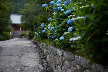 矢田寺,紫陽花(5J7C0676,F2)2014yaotomi_.jpg