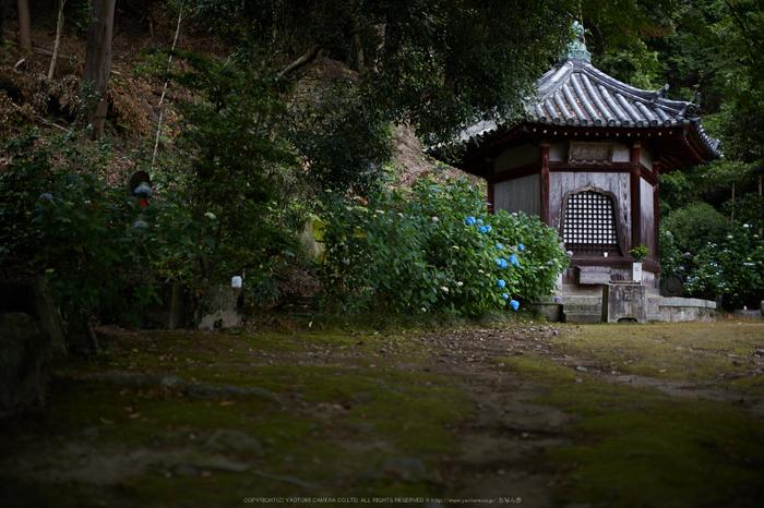 矢田寺,紫陽花(5J7C0737,F1.6)2014yaotomi_.jpg