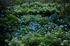 矢田寺,紫陽花(5J7C0801,F2.5,FULL)2014yaotomi_.jpg