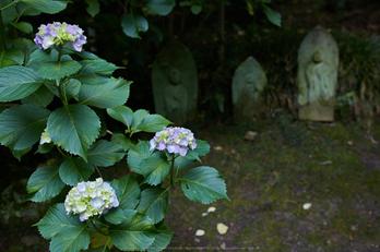 矢田寺,紫陽花(5J7C0849,F3.5)2014yaotomi_.jpg