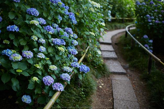 矢田寺,紫陽花(5J7C0860,F1.8)2014yaotomi_.jpg