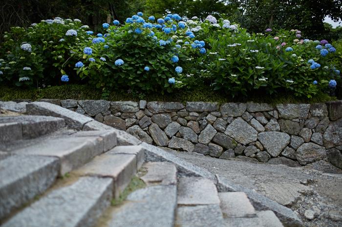 矢田寺,紫陽花(5J7C0883,F1.8)2014yaotomi_.jpg