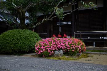 矢田寺,紫陽花(5J7C0920,F1.4)2014yaotomi_.jpg