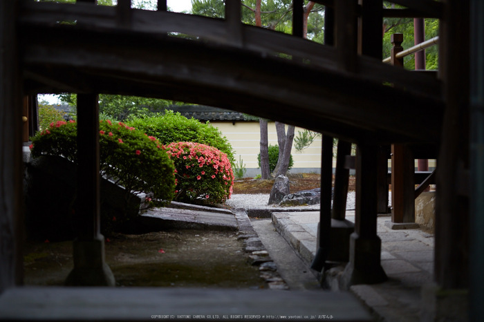 等持院,さつき(5J7C0524,50mm,F1.6)2014yaotomi_.jpg