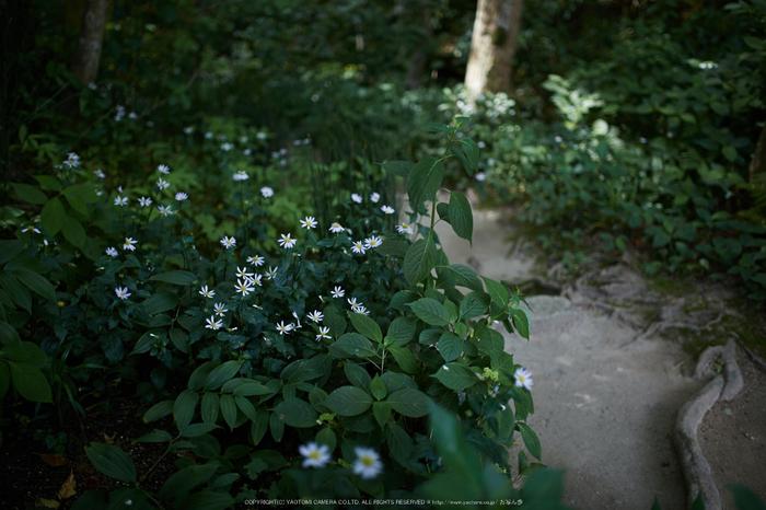 詩仙堂,さつき(5J7C0252,35mm,F1.4)2014yaotomi_.jpg