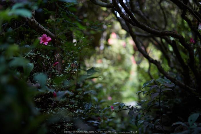 詩仙堂,さつき(5J7C0262,50mm,F1.6)2014yaotomi_.jpg