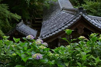 長谷寺,紫陽花(5J7C0987,F7.1)2014yaotomi_.jpg