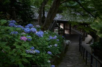 長谷寺,紫陽花(PK3_9191,35mm,F1.8)2014yaotomi_.jpg