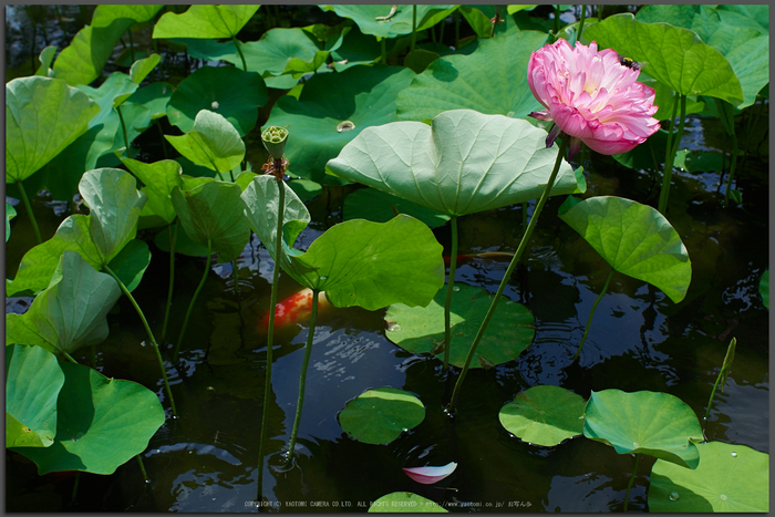 勧修寺,蓮(P7160373,OMD,EM1)2014yaotomi_Top.jpg