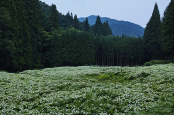 御杖,半夏生(SDIM0522,F4,dp2)2014yaotomi_.jpg
